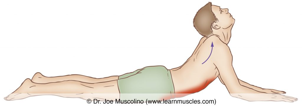 The rectus abdominis is stretched with extension of the trunk at the spinal joints. To accentuate the stretch for one side, opposite-side (contralateral) lateral flexion can be added.