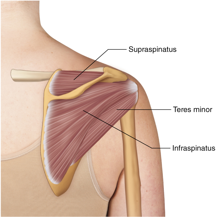 Rotator Cuff Group Learn Muscles