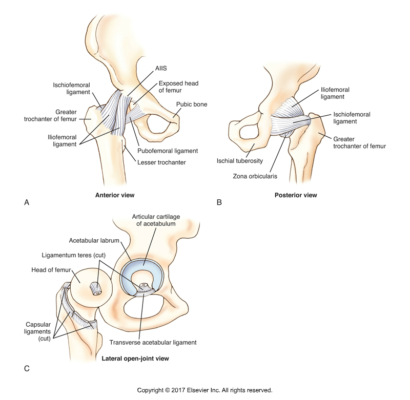 Views of the hip joint capsule