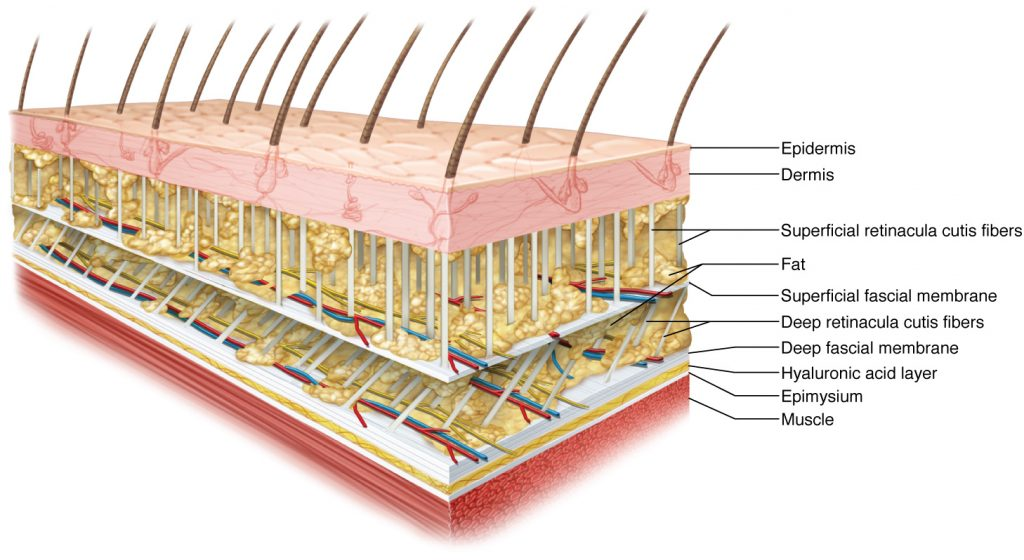 What is fascia anatomy
