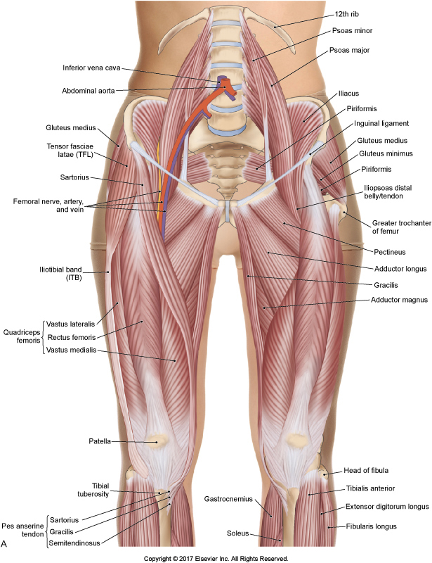 Hip Flexor Region. Permission Joseph E. Muscolino. The Muscular System Manual, The Skeletal Muscles of the Human Body, 4th ed. (Elsevier, 2017).
