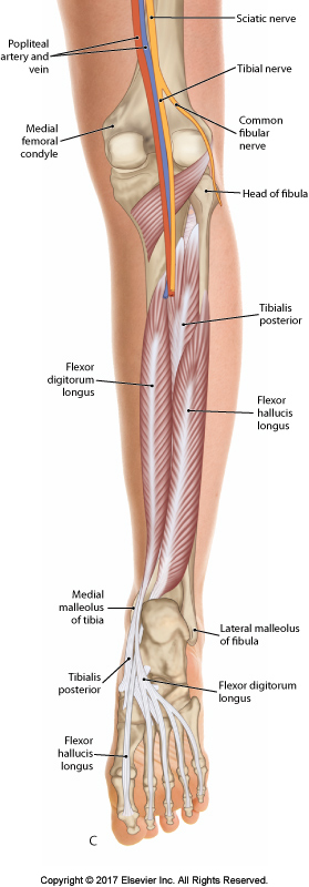 Posterior deep compartment of the right leg. Prrmission Joseph E. Muscolino. The Muscular System Manual - The Skeletal Muscles of the Human Body, 4ed (Elsevier, 2017).
