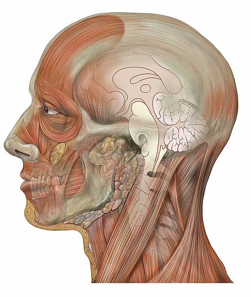 Head_lateral_sagittal_brain