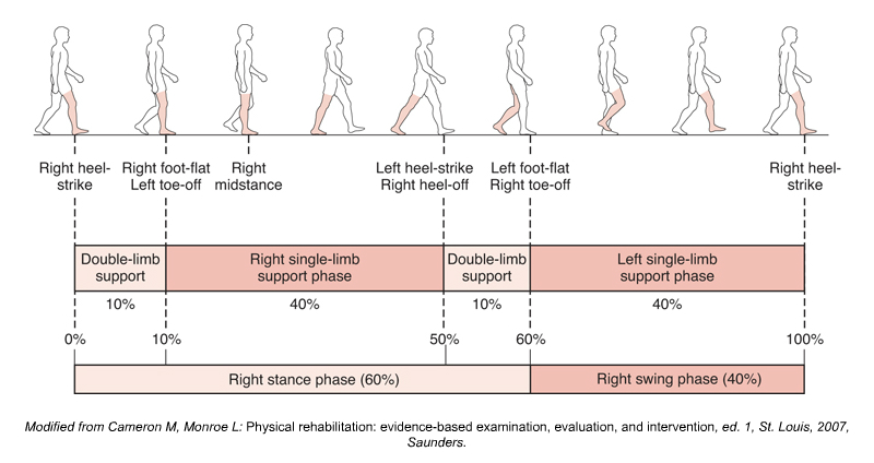 The Gait Cycle (Walking). Permission Joseph E. Muscolino. Kinesiology: The Skeletal System and Muscle Function, 3ed (Elsevier, 2017).
