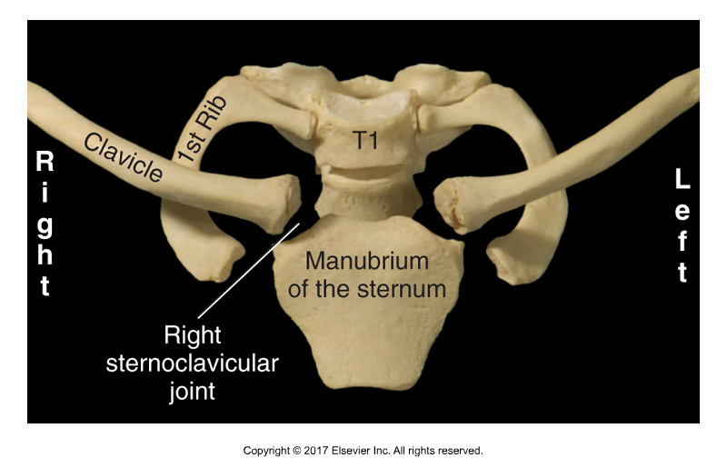 Sternoclavicular Joint. Permission Joseph E. Muscolino. Kinesiology - The Skeletal System and Muscle Function, 3rd ed. Elsevier, 2017).