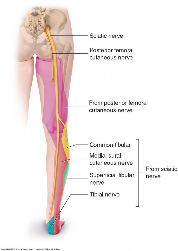 Sciatica - Permission Joseph E. Muscolino. Orthopedic Manual Therapy - A Clinical Orthopedic Approach (2015)
