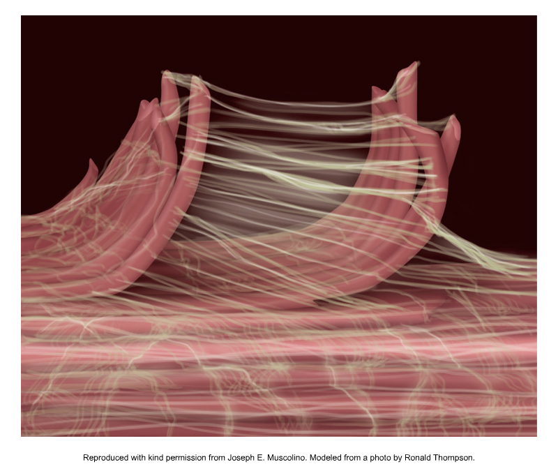 Fascial fibers of peri- and endomysium. Permission Joseph E. Muscolino. Kinesiology - The Skeletal System and Muscle Function, 3ed (Elsevier, 2017). Modeled on a photo by Ronald Thompson.