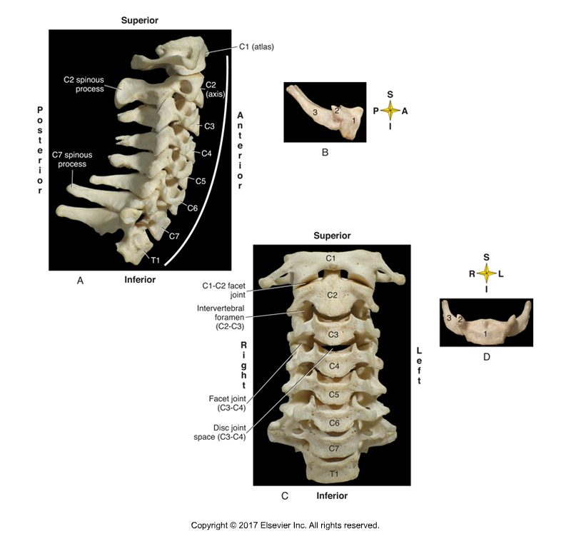 Cervical spinal transverse processes. Permission Joseph E. Muscolino. Kinesiology - The Skeletal System and Muscle Function, 3rd ed. (Elsevier, 2017).