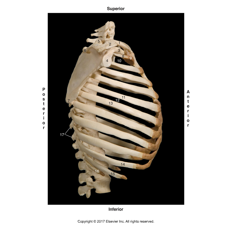 Rib cage. Permission Joseph E. Muscolino. Kinesiology - The Skeletal System and Muscle Function, 3rd ed. (Elsevier, 2017).