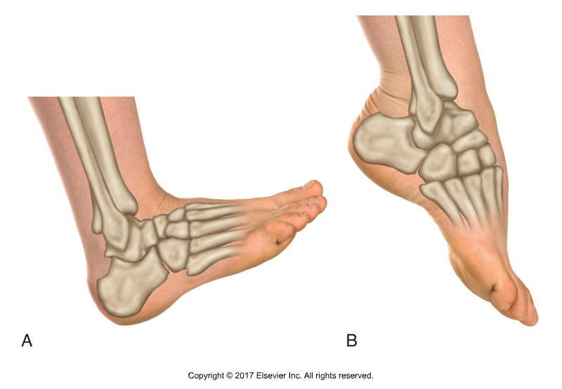Dorsiflexion and plantarflexion of the foot at the ankle joint (open chain - standard joint action). Permission Joseph E. Muscolino. Kinesiology - The Skeletal System and Muscle Function, 3rd edition (Elsevier, 2017).