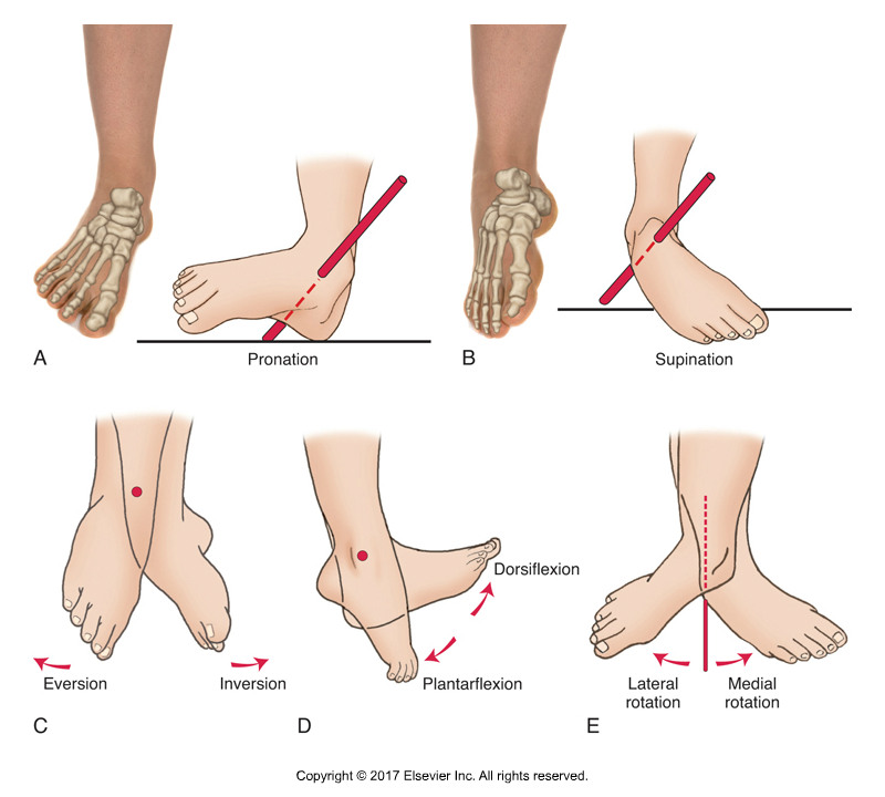 Pronation and Supination of the foot at the subtalar joint. Permission Joseph E. Muscolino. Kinesiology - The Skeletal System and Muscle Function, 3rd ed. (Elsevier, 2017).