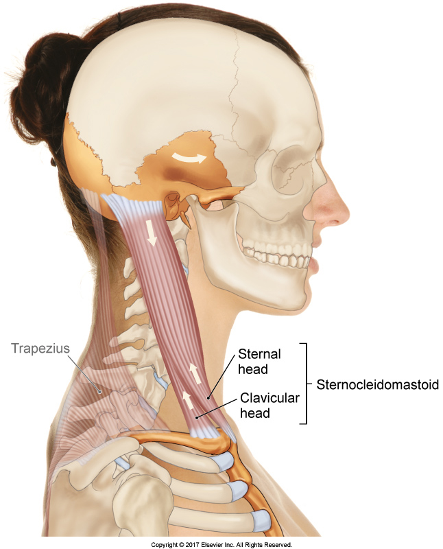 Sternocleidomastoid - Permission Joseph E. Muscolino. The Muscular System Manual - The Skeletal Muscles of the Human Body, 4th ed. (Elsevier, 2017).