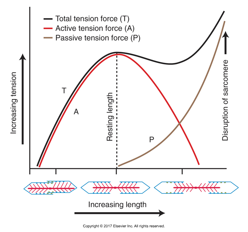Length Tension Relationship Curve. Permission Joseph E. Muscolino. Kinesiology - The Skeletal System and Muscle Function, 3ed. (Elsevier, 2017).