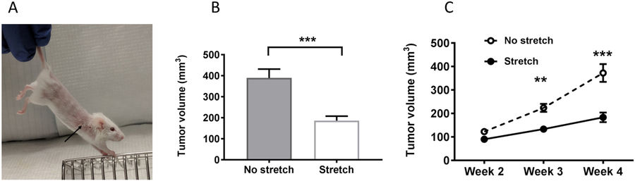 Methods and results for study of the effects of stretching on cancer.