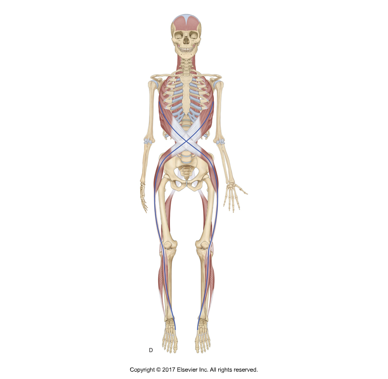 Spiral Line myofascial meridian. Permission Joseph Muscolino. Kinesiology - The Skeletal System and Muscle Function, 3rd ed. (Elsevier, 2017). Modeled from artwork in Anatomy Trains by Tom Myers.