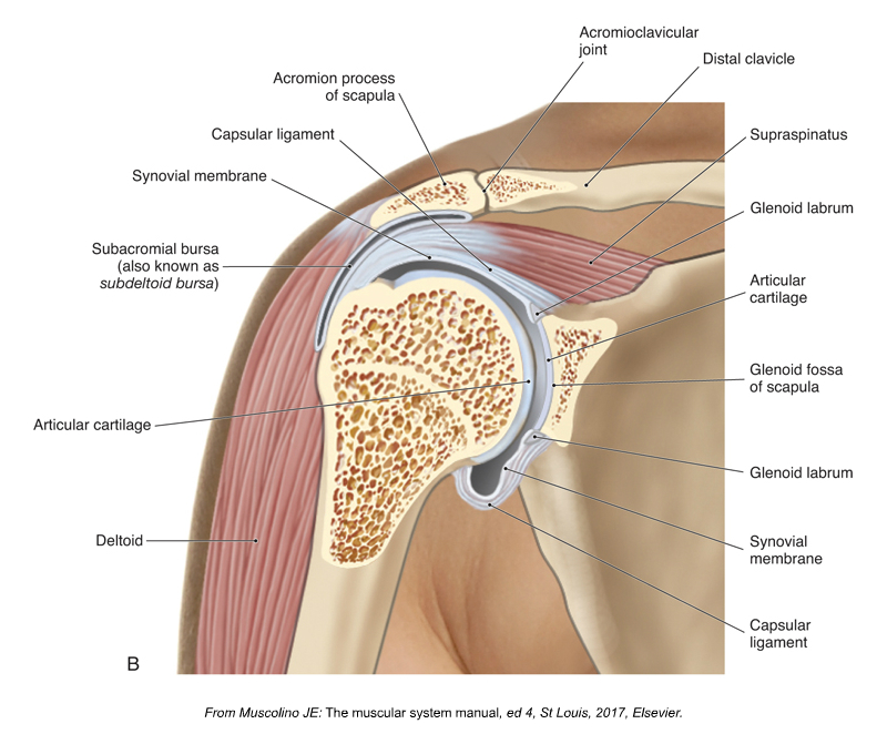 Frontal plane section through the right glenohumeral joint. Figure credit: Kinesiology - The Skeletal System and Muscle Function, 3rd Edition, 2017, Joseph E. Muscolino, Elsevier.
