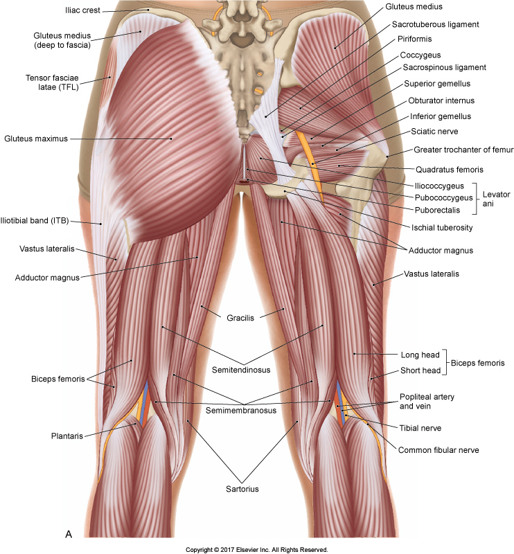 Post view of the thigh. Figure credit: Joseph E Muscolino. The Muscular System Manual, the Skeletal Muscles of the Human Body, 4th edition. Elsevier, 2017.