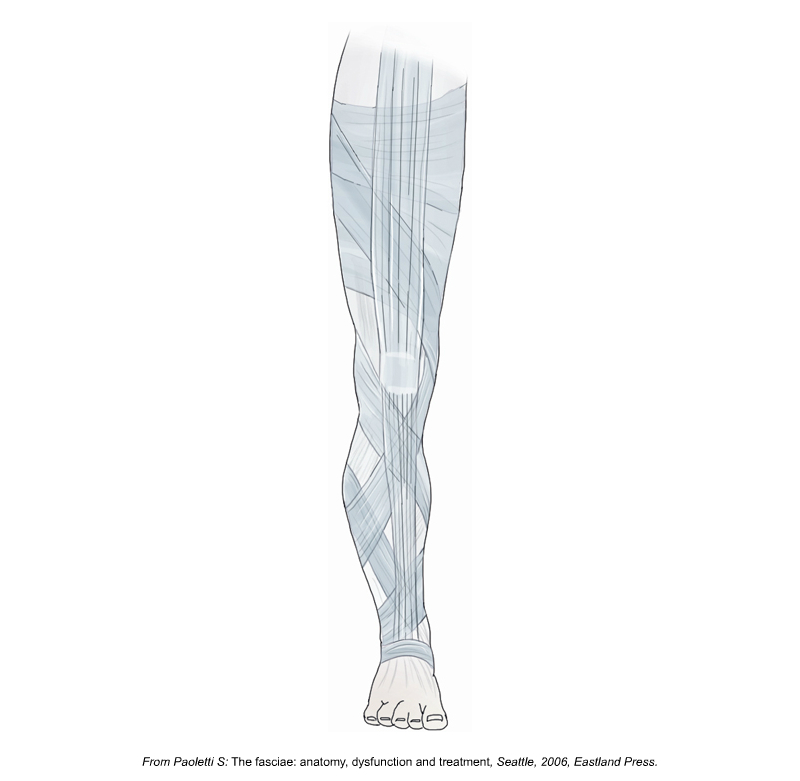 Fibrous fascial planes of the lower extremity.