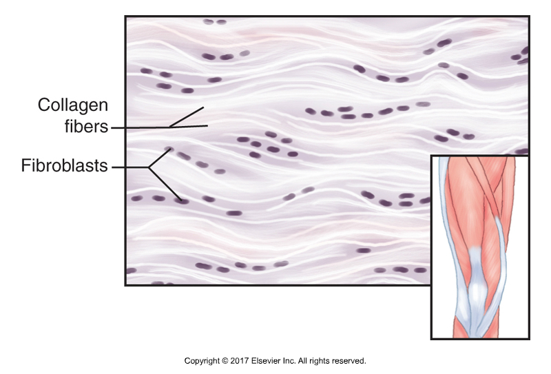 fibrous fascial tissue composition