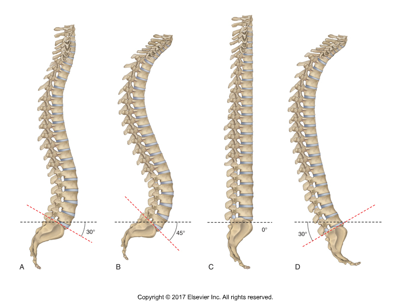 Spinal Curves. Permission Dr. Joe Muscolino.