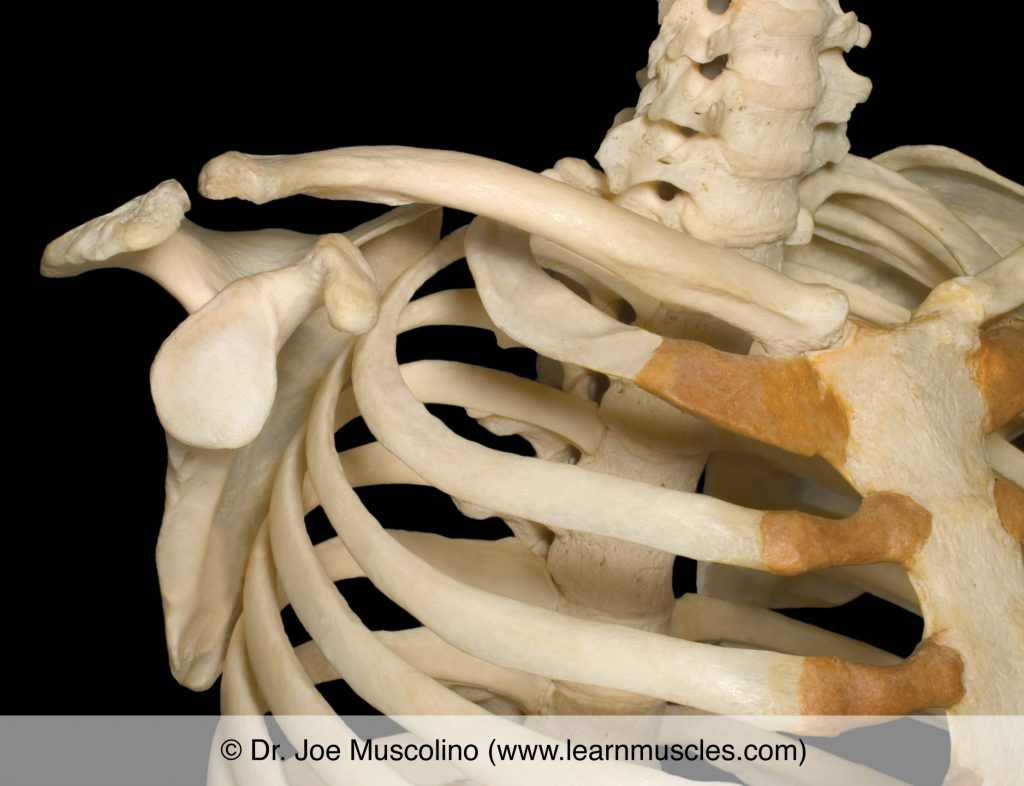 Anterolateral view of the scapulocostal joint on the right side of the body.