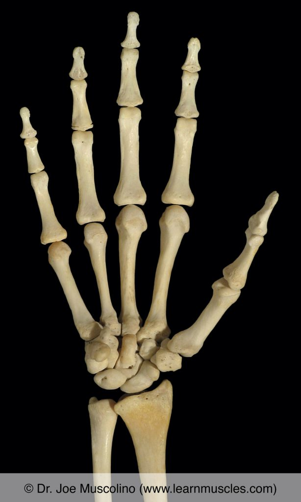 Anterior view of the wrist and hand on the right side of the body.