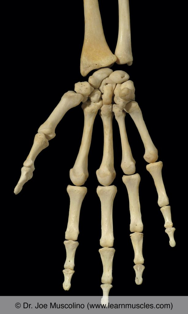 Anterior view of bones of the right hand.