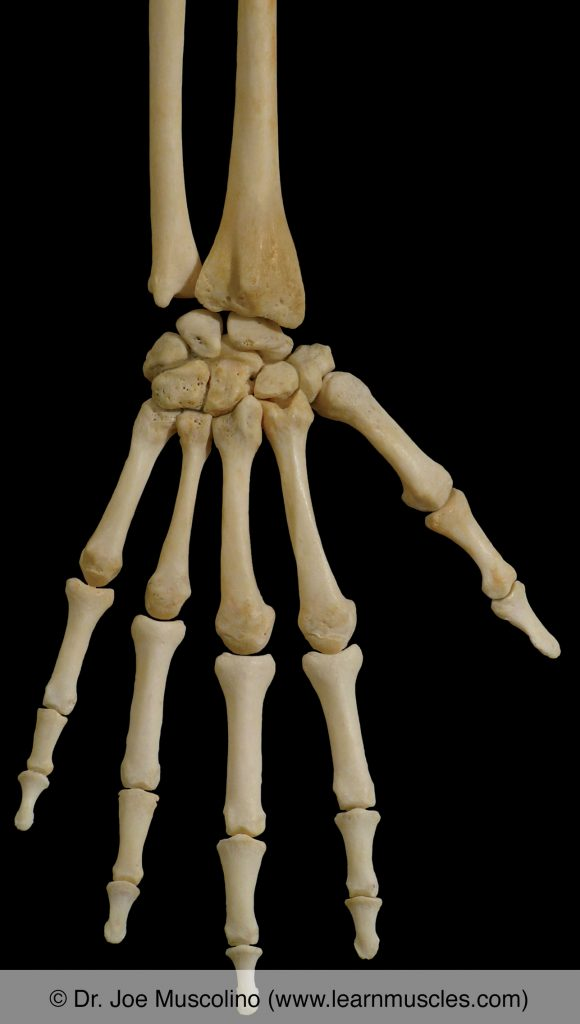 Posterior view of bones of the wrist and hand on the right side.