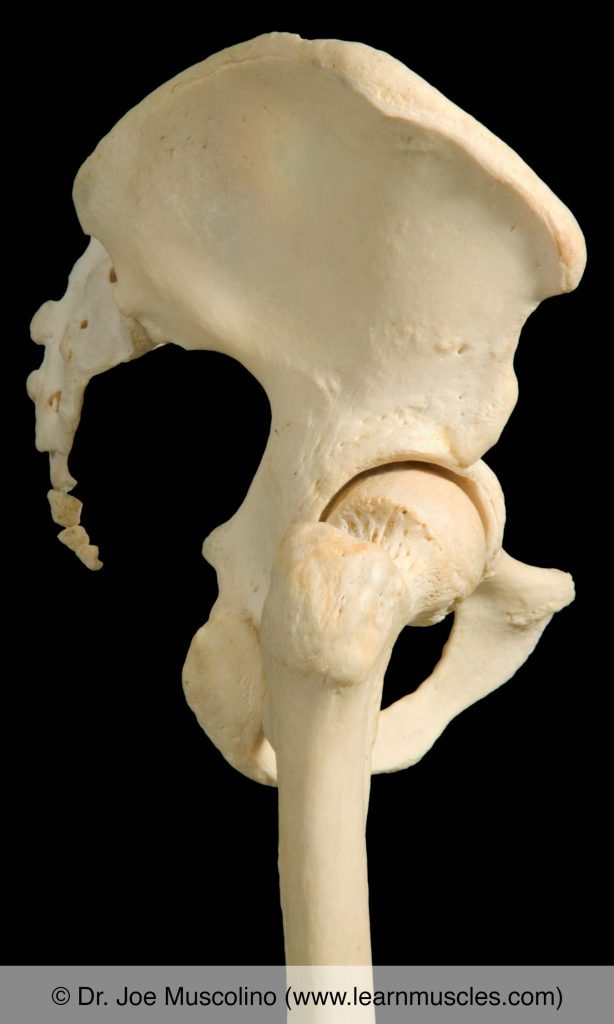 Lateral view of the hip joint on the right side of the body.