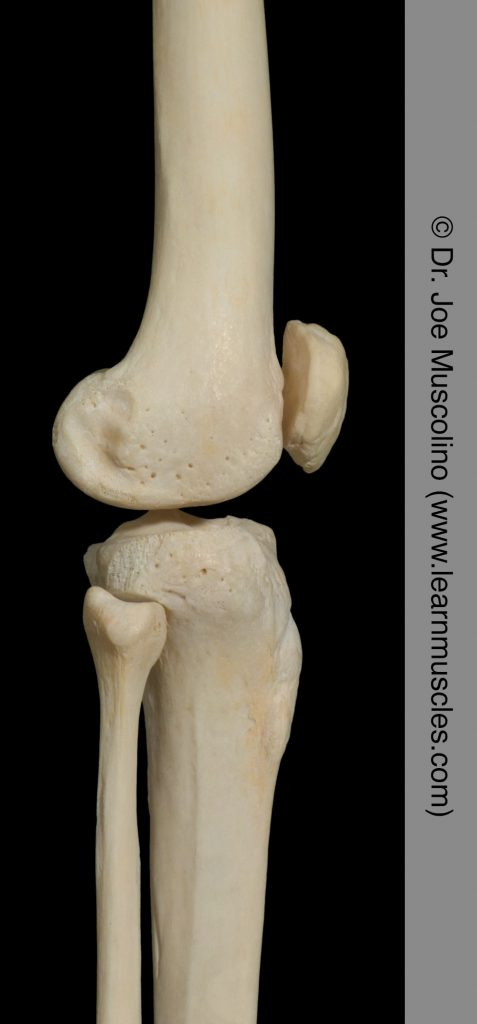 Lateral view of the knee joint on the right side of the body.