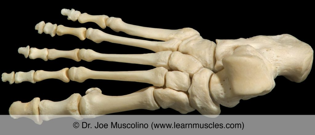 Dorsal view of the foot on the right side of the body, demonstrating the metatarsophalangeal joints (as well as other joints of the foot).