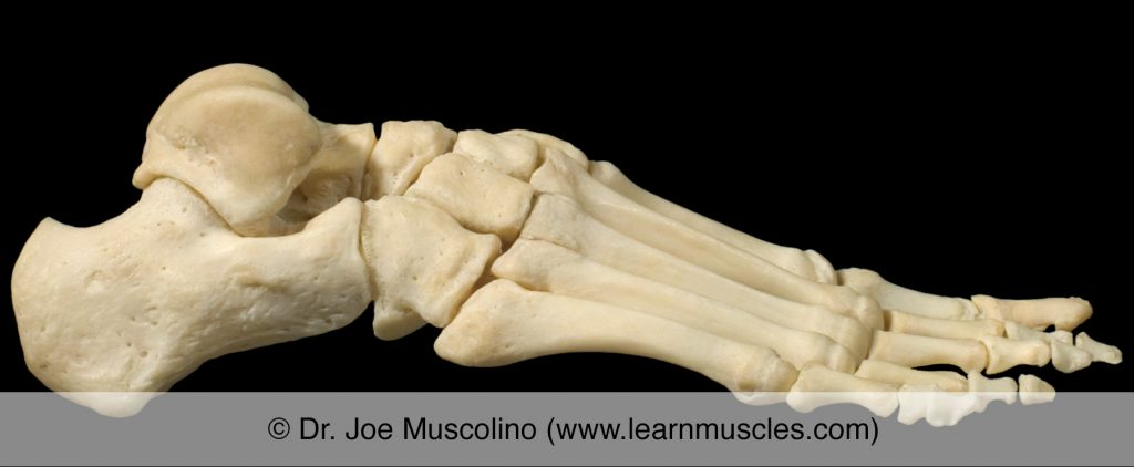 Lateral view of the foot on the right side of the body, demonstrating the metatarsophalangeal joints (as well as other joints of the foot).