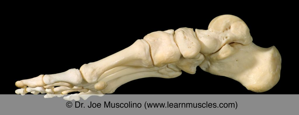 Medial view of the foot on the right side of the body, demonstrating the metatarsophalangeal joints (as well as other joints of the foot).