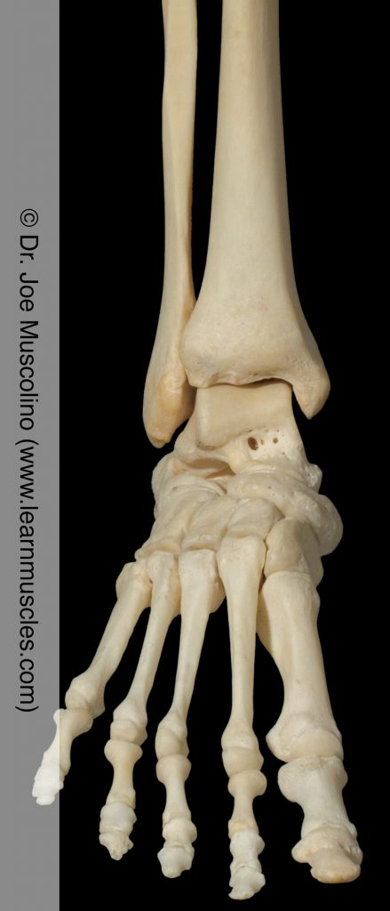 Anterior view of the ankle joint on the right side of the body.