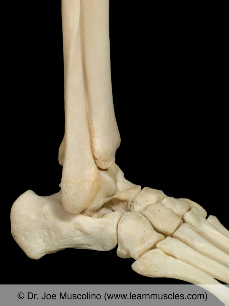 Lateral view of the ankle joint on the right side of the body.