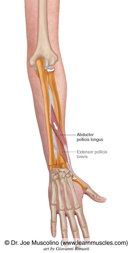 Abductor pollicis longus and extensor pollicis brevis of the deep posterior compartment of the forearm.