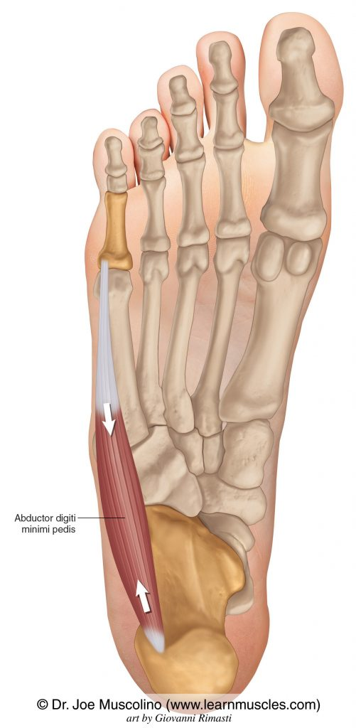 Abductor digiti minimi of the foot on the right side of the body.