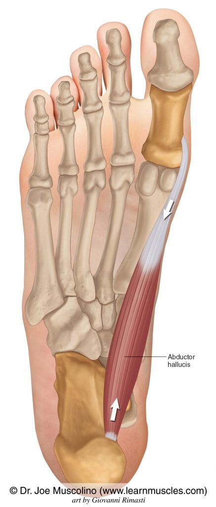 Abductor hallucis of the foot on the right side of the body.