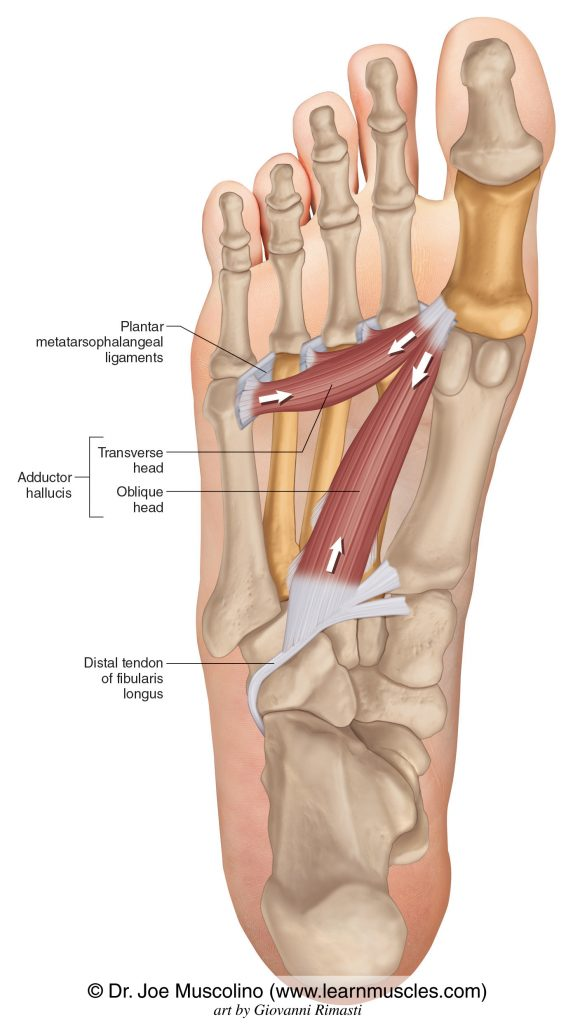 The oblique and transverse heads of the adductor hallucis of the foot on the right side of the body.