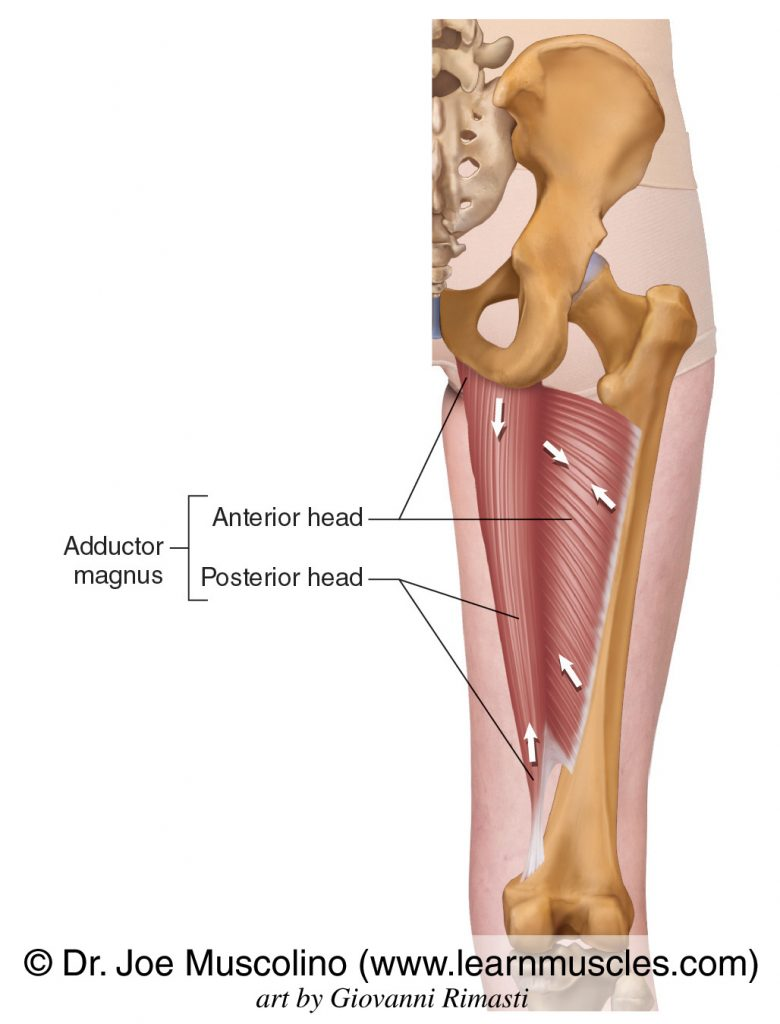 The adductor magnus of the adductor group. The adductor magnus has two heads: anterior and posterior.