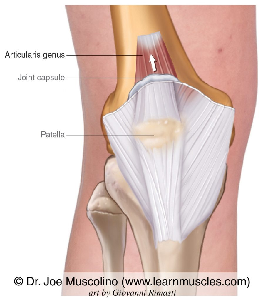 The articularis genus is seen attaching into the joint capsule of the knee.