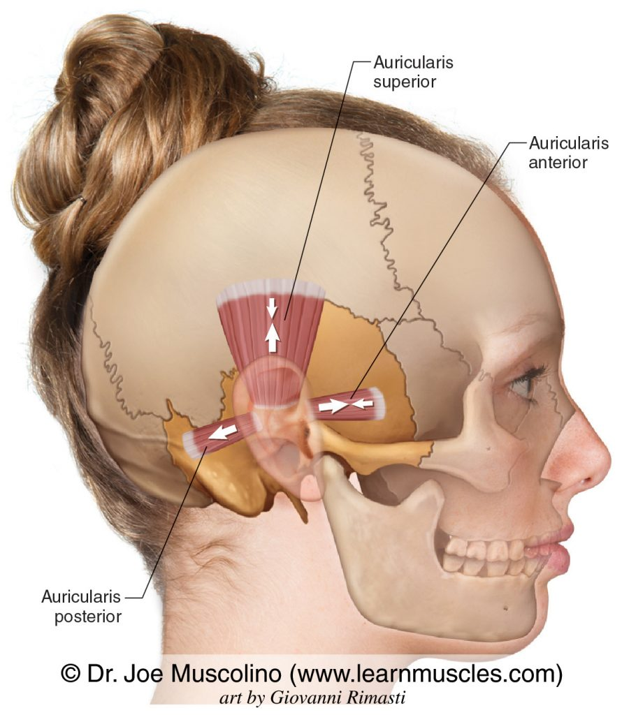 The auricularis anterior, superior, and posterior on the right side of the body.