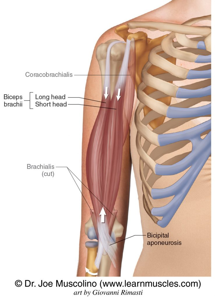 The biceps brachii has two heads: long head and short head. The coracobrachialis and cut distal end of brachialis have been ghosted in.