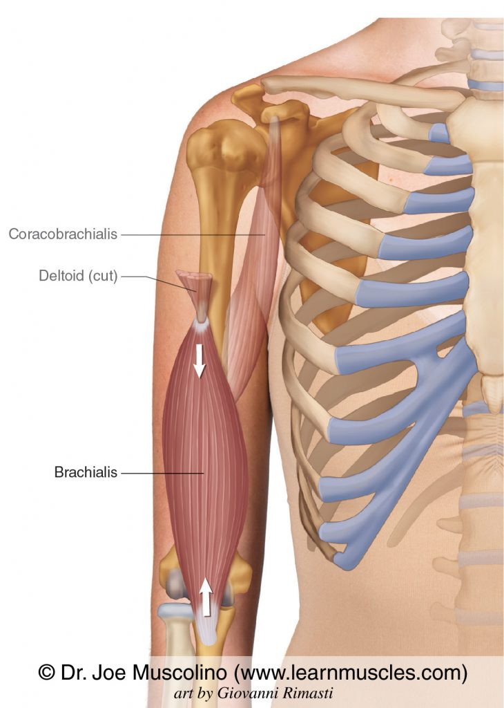 The brachialis of the anterior arm. The coracobrachialis and cut distal end of the deltoid have been ghosted in.