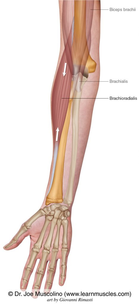 The brachioradialis. The biceps brachii and brachialis have been ghosted in.
