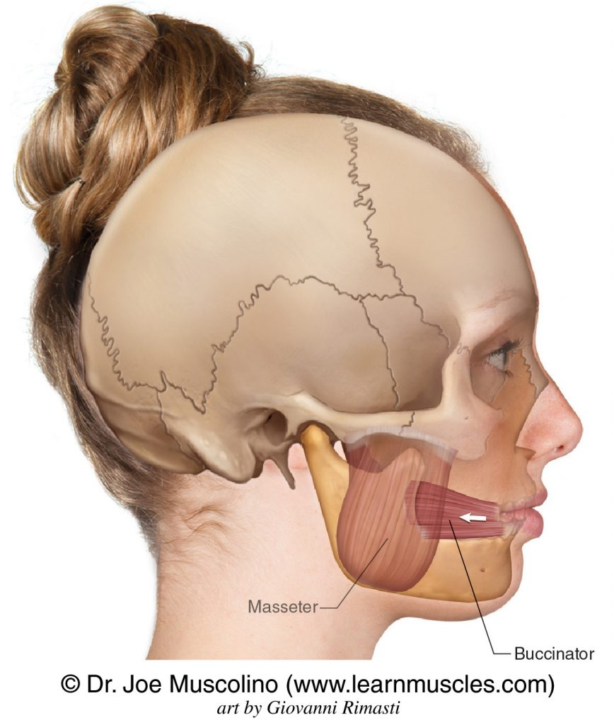 """The buccinator (""""trumpeter"""") muscle on the right side of the body. The masseter has been ghosted in."""