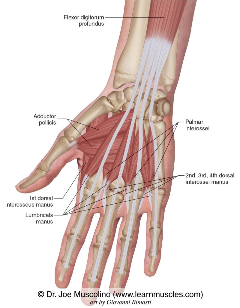 The central compartment group of intrinsic hand muscles: adductor pollicis, lumbricals manus, palmar interossei, and dorsal interossei manus.