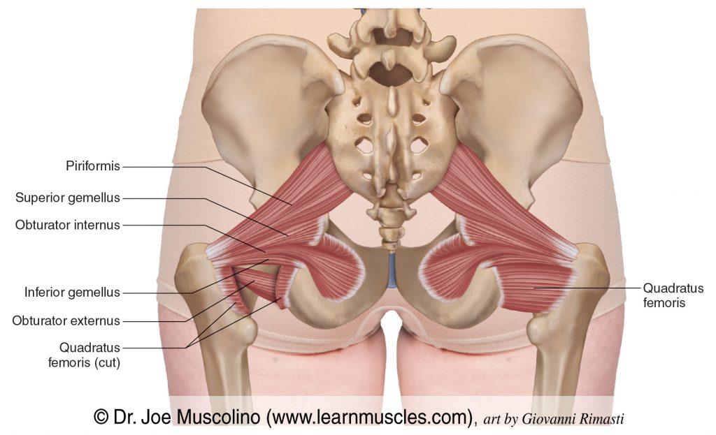 The deep lateral rotator group of the pelvis/hip joint. The deep lateral rotators are: piriformis, superior gemellus, obturator internus, inferior gemellus, obturator externs, quadratus femoris.