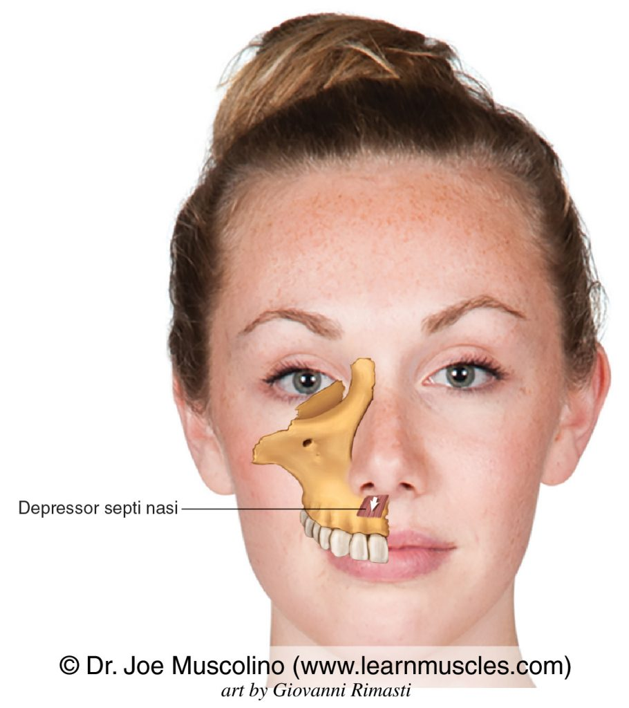 The depressor septi nasi, a muscle of facial expression, on the right side of the body.