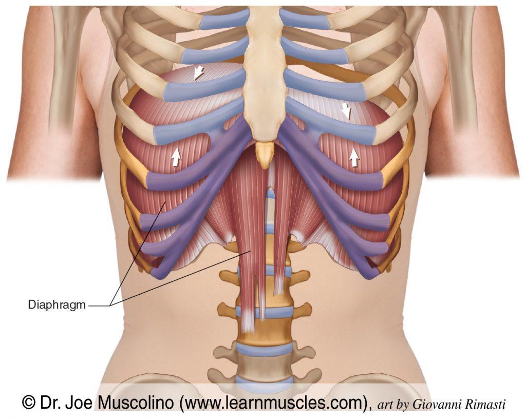 Anterior view of the diaphragm.